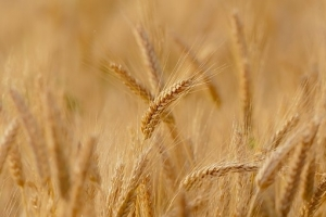 Турция купува хлебна пшеница – цените поскъпват