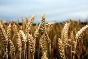 Египет ще купува хлебна пшеница за началото на ноември