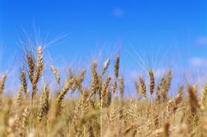 Класиране на френска пшеница в Египет подкрепя MATIF
