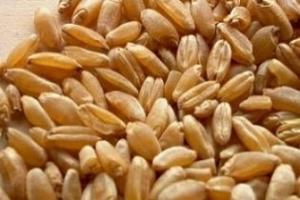 Египет купува 300кмт хлебна пшеница от Русия и Франция
