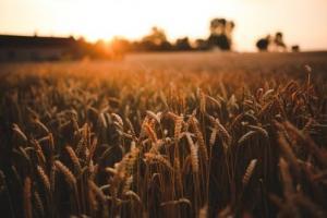 Йордания ще внася 60кмт пшеница, цените поскъпавт