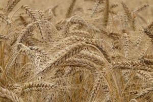 Саудитска Арабия ще внася 605кмт хлебна пшеница