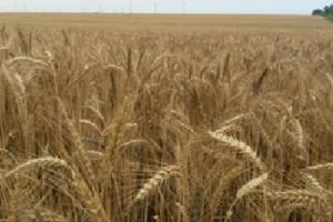 Цените на пшеницата започват негативна корекция