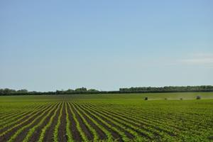 Състоянието на пшеницата в Аржентина се влошава