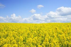FCStone понижават реколтата от рапица и пшеница в Австралия