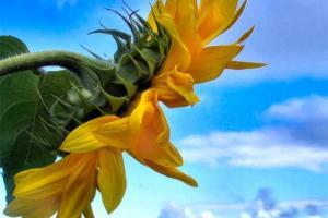 Търсенето на слънчогледово олио и шрот нараства