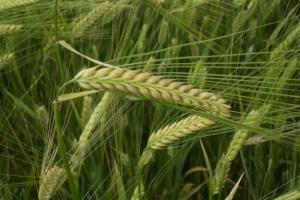 Франция ще изнася рекорден обем пшеница