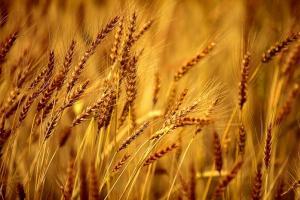 Тунис ще внася хлебна пшеница и фуражен ечемик