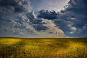 Цените на пролетната пшеница в САЩ губят тежко