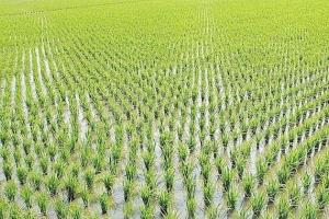 Цените на руската пшеница продължават да укрепват