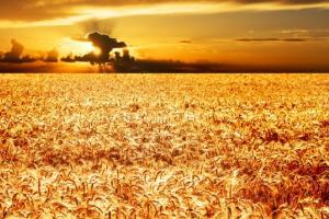 Пазарът на пшеницата в Чикаго прибира печалби и се консолидира