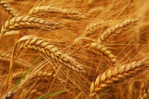 Йордания договаря внос на хлебна пшеница за април 2020