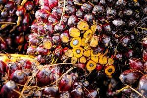 Запасите от палмово масло в Малайзия достигат 27 месечно дъно