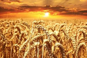Алжир ще търси внос на пшеница за март 2020