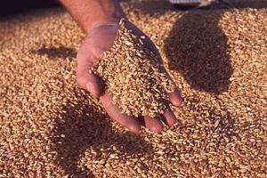 Площите с пшеница във Франция на 19 годишно дъно?