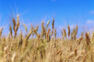 Йордания прави трета покупка на пшеница нова реколта