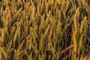 Алжир договаря внос на 550кмт пшеница за април 2020