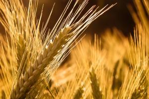 Йордания ще търси внос на хлебна пшеница и фуражен ечемик