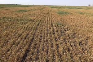 Състоянието на пшеницата в Румънска Добруджа е критично