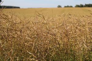 В Канада очакват повече площи с пшеница и по-малко рапица