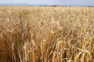 Световният зърнен съвет ( IGC) очаква рекордна реколта пшеница за сезон 2020/2021