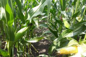 Кроп Тура на ProFarmer намира по-слаби добиви от царевица и соя