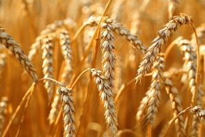 Саудитска Арабия обяви търг за пшеница, който е четвърти подред за тази година