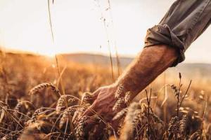 Саудитска Арабия купи по-малко пшеница от предвиденото