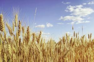 Провален пакистански търг за пшеница
