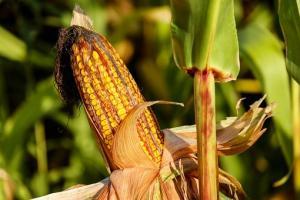 Алжир договаря внос на 30кмт фуражна царевица