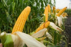 USDA в Киев понижава съществено зърнената реколта на Украйна