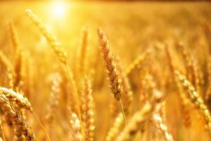 Пазарът на пшеницата започва негативна корекция?