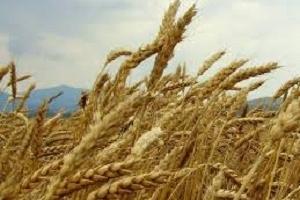 Йордания договаря внос на хлебна пшеница за март 2021
