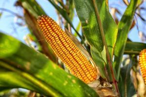 Колко голяма е новата реколта от царевица в България?