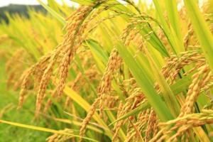 Бангладеш ще внася ориз за първи път от 2017