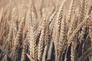 Алжир обяви последния си търг на пшеница за 2020