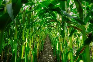 Фондовете държат значително големи нетно дълги позиции при царевицата