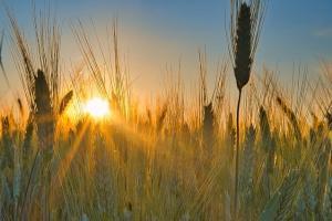 Експортните цени на украинската пшеница продължават да растат