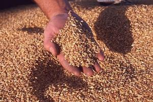 Египет търси внос на хлебна пшеница за март 2021