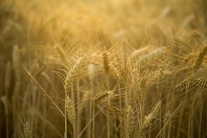 Рязко ценово покачване на руската пшеница през последните дни