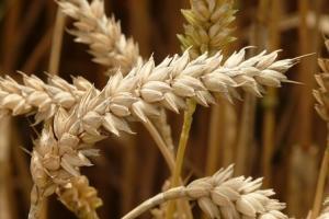 Йордания договаря първи внос на пшеница реколта 2021