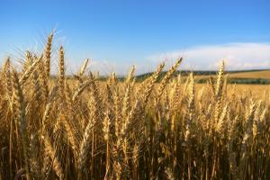 Пшеницата на MATIF записа нов възходящ импулс, изкачвайки се с €4.25