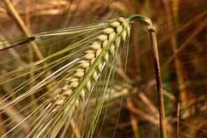 Тунис закупи по 92 Кмт твърда и мека пшеница, както и 100 Кмт фуражен ечемик