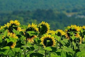 Очаква се много ниско производство на слънчоглед в Аржентина
