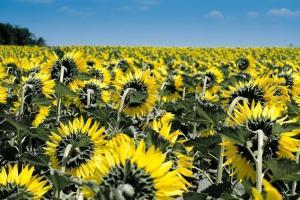 Жътвата на слънчоглед в Аржентина напредва с бавни темпове