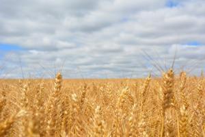 Филипините ще търсят внос на черноморска фуражна пшеница
