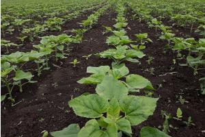 Франция очаква рязък спад на площите с царевица и слънчоглед