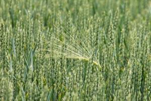 Йордания с нов търг за внос на пшеница, реколта 2021