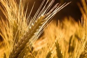 Цената на фуражния ечемик за Йордания отново поскъпва