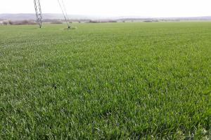 Състоянието на пшеницата във Франция се подобрява